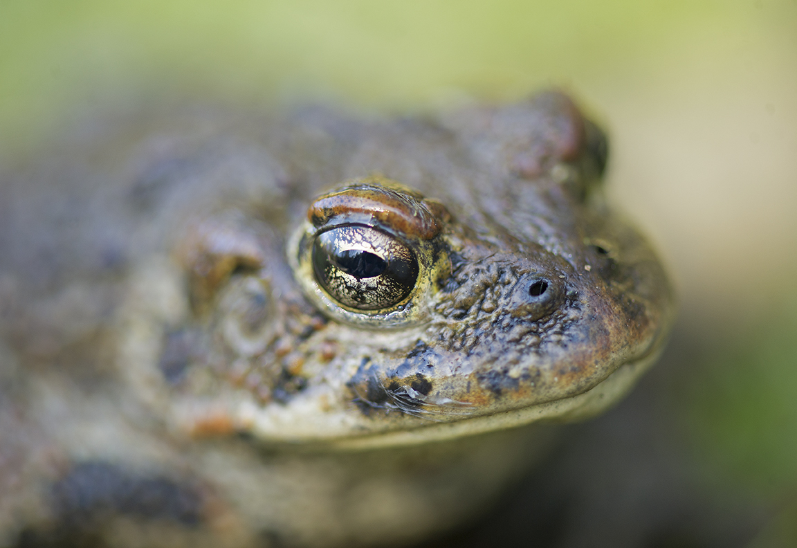Meet the Western Toad