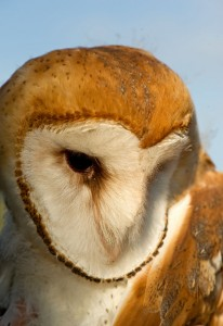 The barn owl is one of the other 1,900 species at risk in BC without legislated protection. Photo: Isabelle Groc.