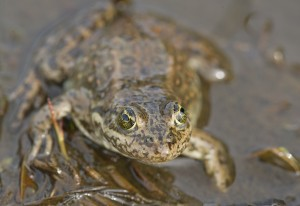 The Oregon spotted frog is Canada's most endangered amphibian. (Photo: Isabelle Groc)