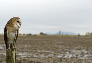 Sarah resident barn owl at OWL